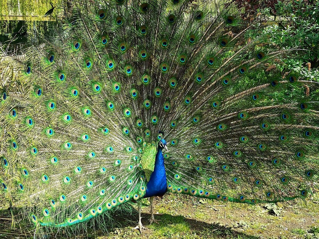 Peacock Peacock Bird Peacock Feather One Animal Animal Themes Beauty In Nature Fanned Out Animals In The Wild Nature Feather  Animal Wildlife Outdoors Day No People