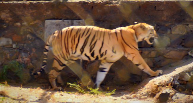 Rammy_ram Mumbai_in_clicks Mumbai Wildlife Wildlife Photography Mumbaibizarre Inspiroindia Maharashtra India Mumbai Tiger Natgeo