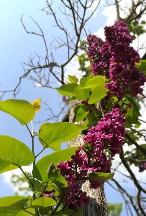 Leaf Plant Nature Growth Tree Day No People Focus On Foreground Purple Outdoors Branch Low Angle View Freshness Beauty In Nature Flower Fruit Close-up Fragility Sky