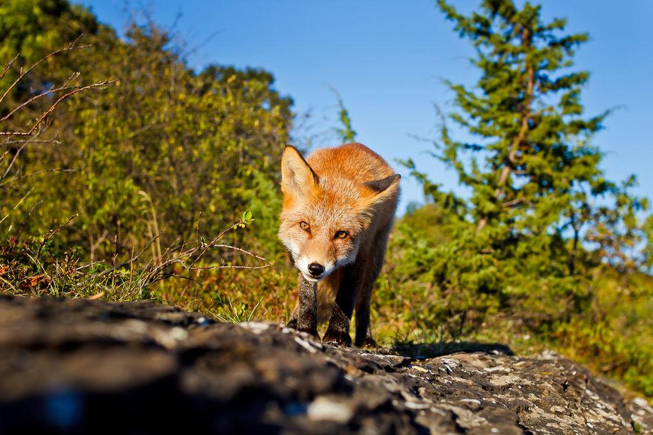 Beautiful stock photos of fuchs,  Animal Themes,  Animal Wildlife,  Animals In The Wild,  Beauty In Nature