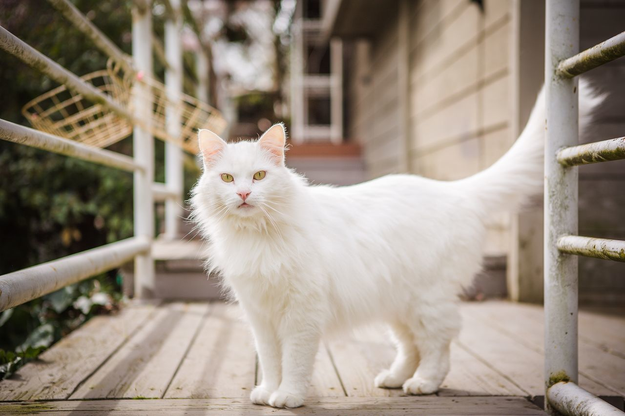 domestic cat, feline, animal themes, domestic animals, mammal, pets, white color, one animal, cat, focus on foreground, no people, outdoors, day, nature, close-up