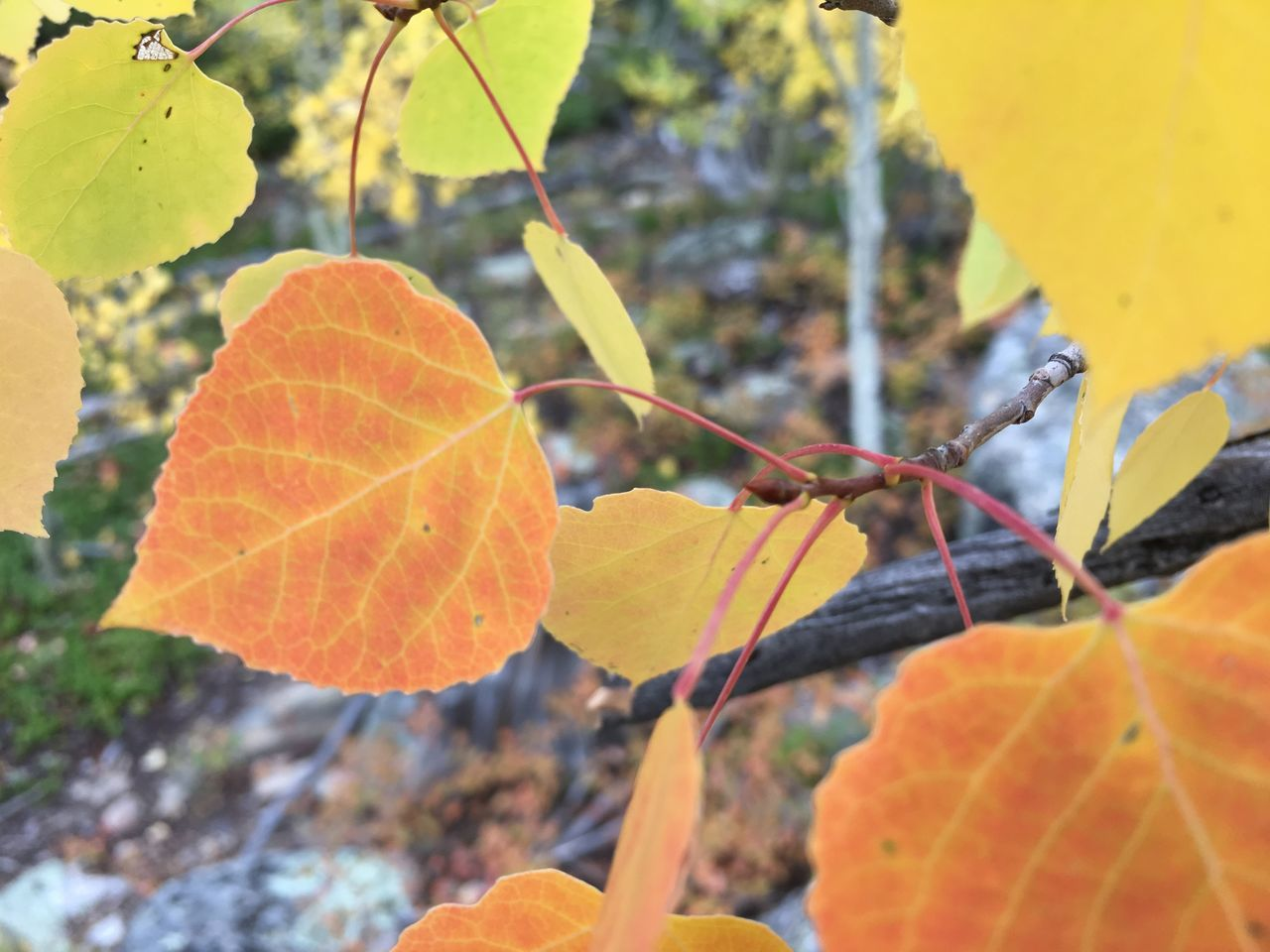 ©Amy Boyle Photography Autumn Beauty In Nature Branch Change Close-up Day Focus On Foreground Freshness Growth Leaf Maple Nature No People Outdoors Tree Yellow