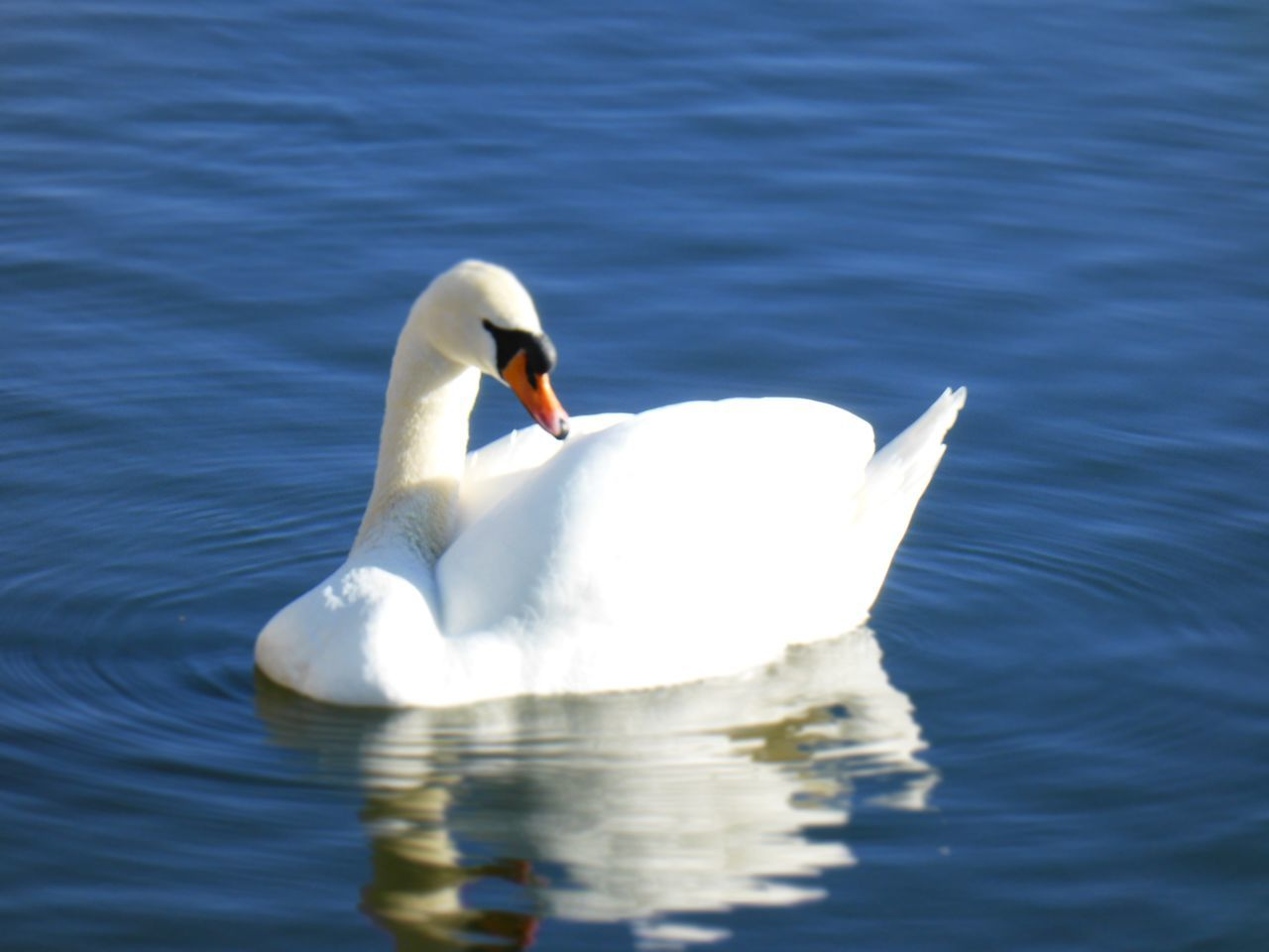one animal, animal themes, animals in the wild, swimming, white color, swan, lake, bird, waterfront, water bird, water, day, no people, nature, animal wildlife, outdoors, close-up