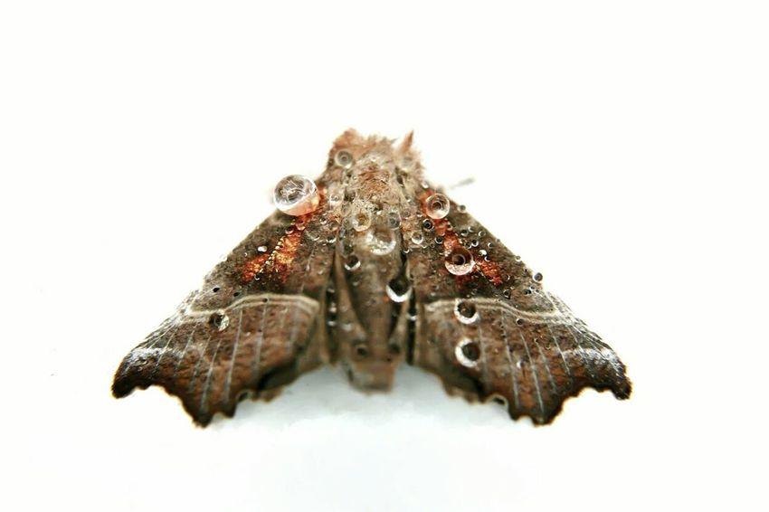 White Background Studio Shot No People Animal Themes Moth Close-up Close Up