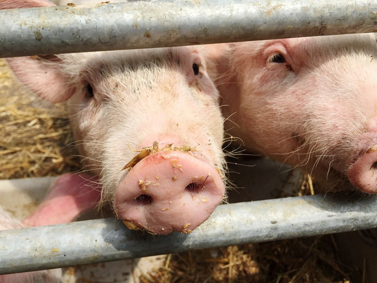 Pig Piglet Animal Animals Little Little Piglet Young Young Animal Snout Muzzle Nose Pink Rosé Farm Look Sweet Pigsty Stall Pig Stall Chow Feeding  Feeding Animals Feed  Bait
