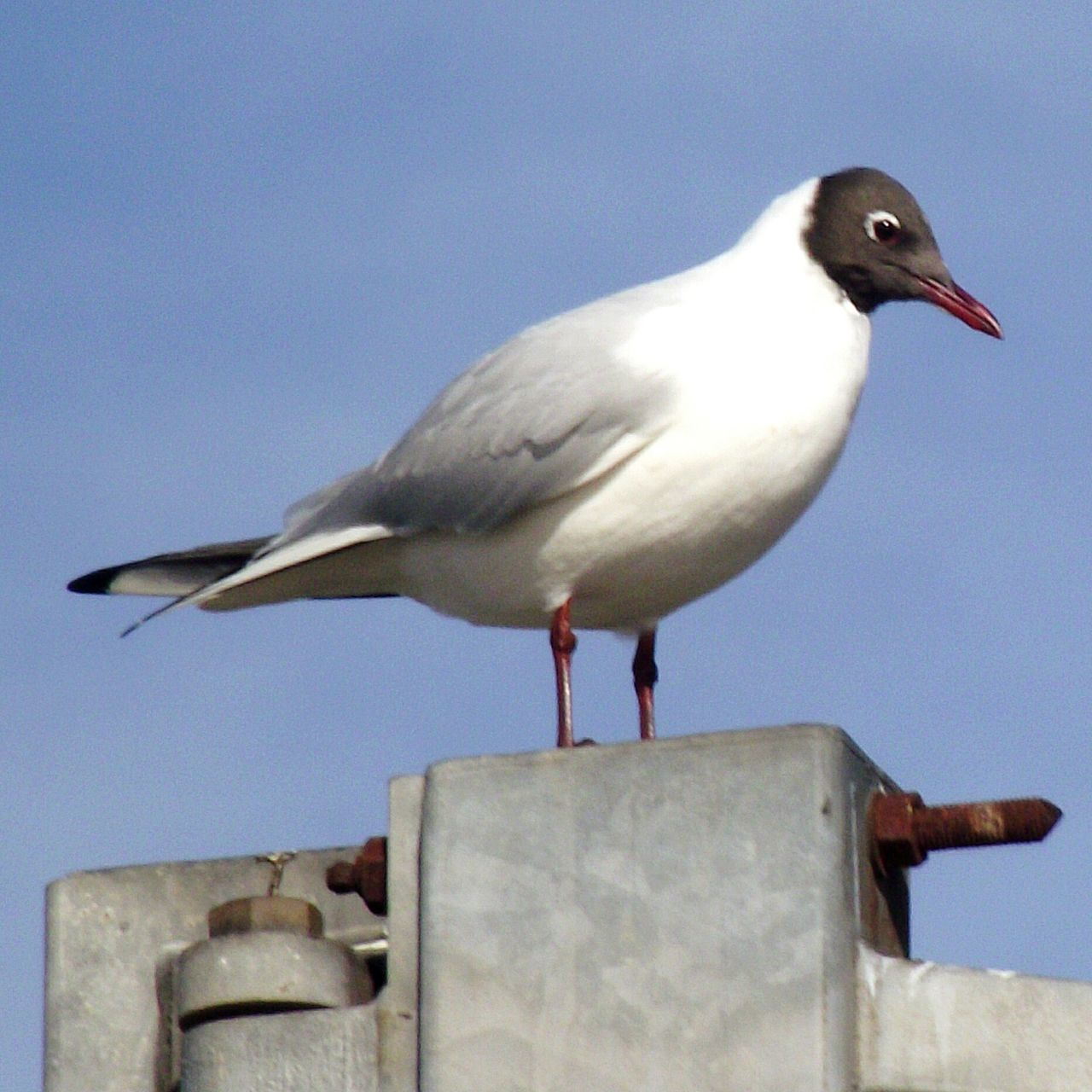 animals in the wild, one animal, bird, animal themes, perching, animal wildlife, no people, day, outdoors, seagull, nature, close-up, sky