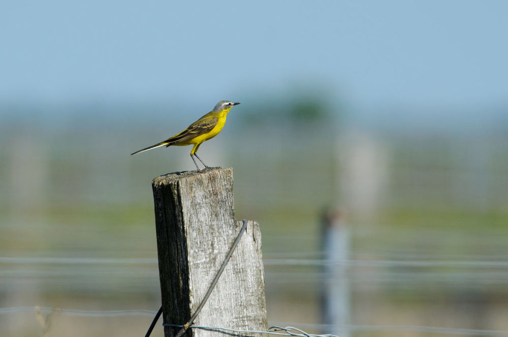 Animal Wildlife Animals In The Wild Bird Motacilla Flava Nature Neusiedler See Outdoors Western Yellow Wagtail Wildlife