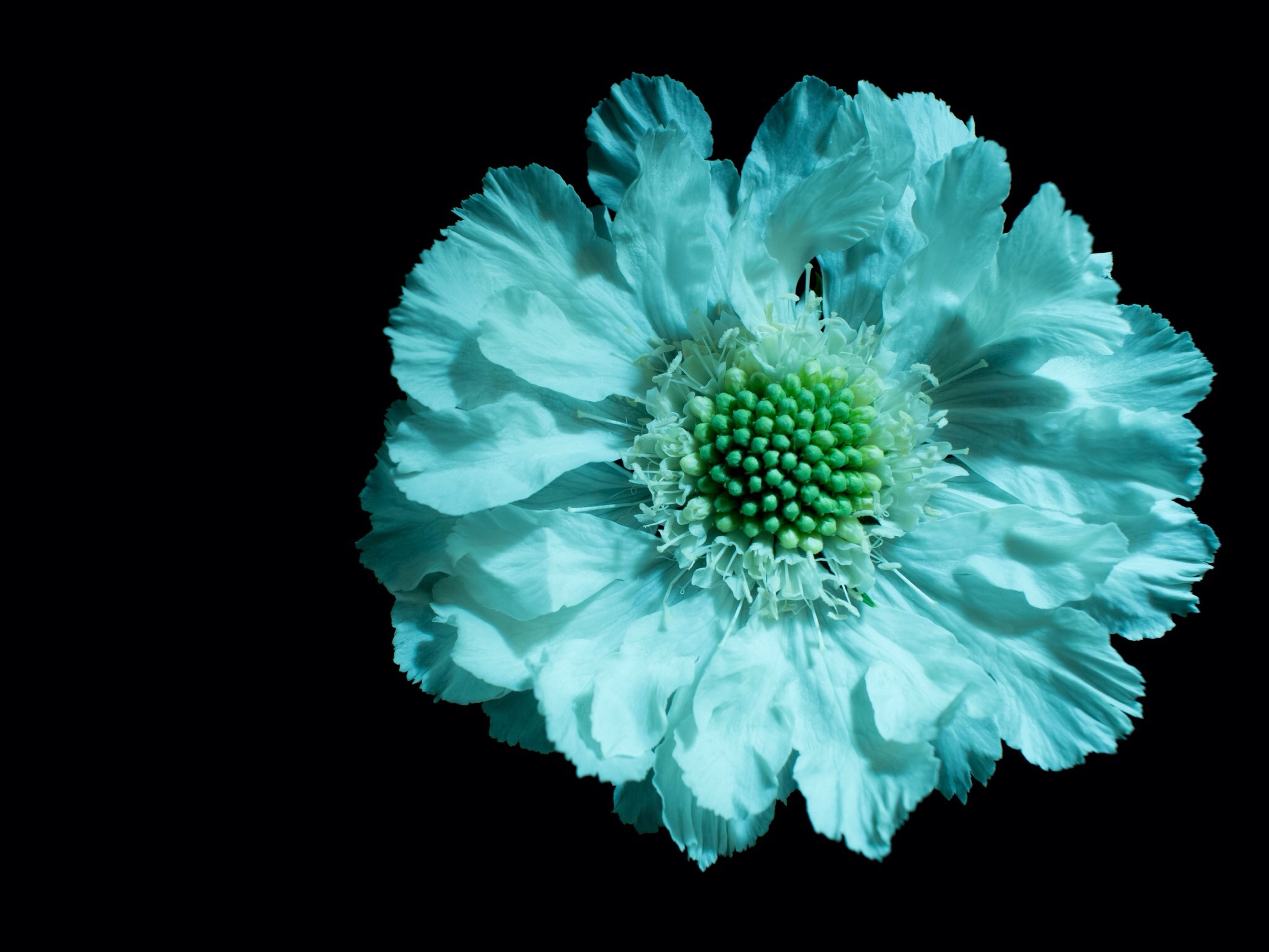 black background, studio shot, flower, freshness, flower head, petal, fragility, close-up, beauty in nature, copy space, nature, single flower, night, growth, cut out, white color, no people, blooming, pollen, blossom