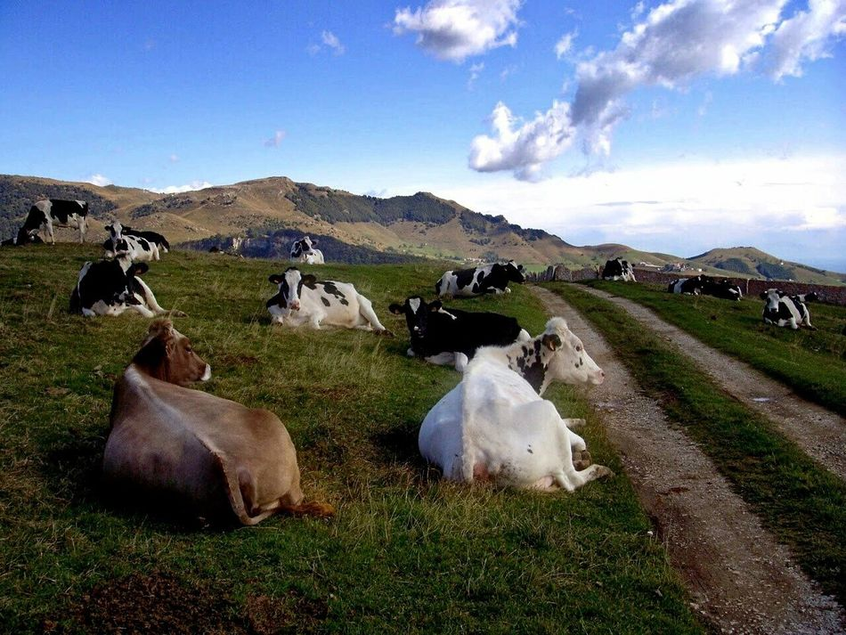 Cows Enjoying The Sunset Peaceful Place A Walk On The Hills Landscapes With WhiteWall