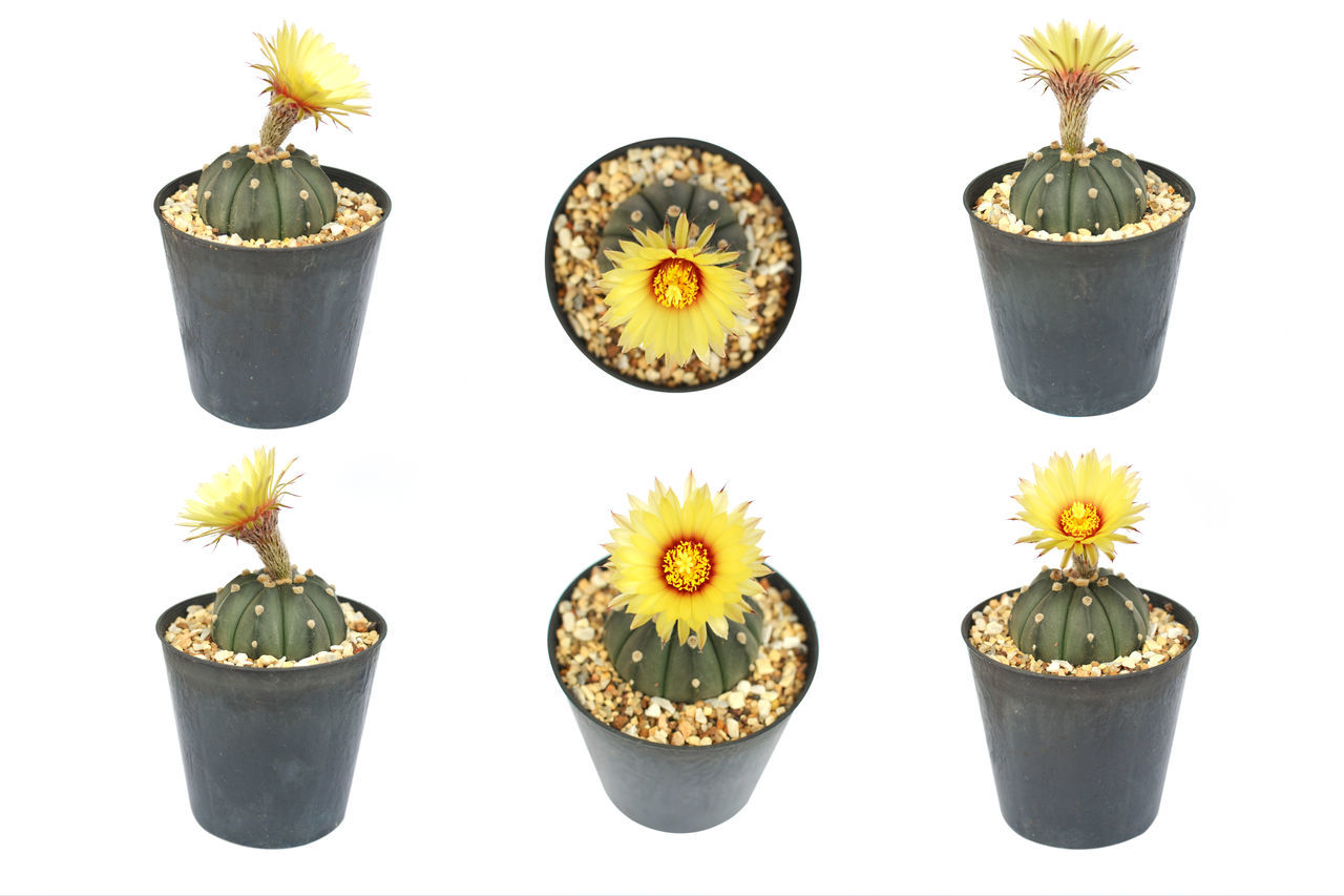 Cactus Close-up Flower Flower Head Growth White Background Yellow