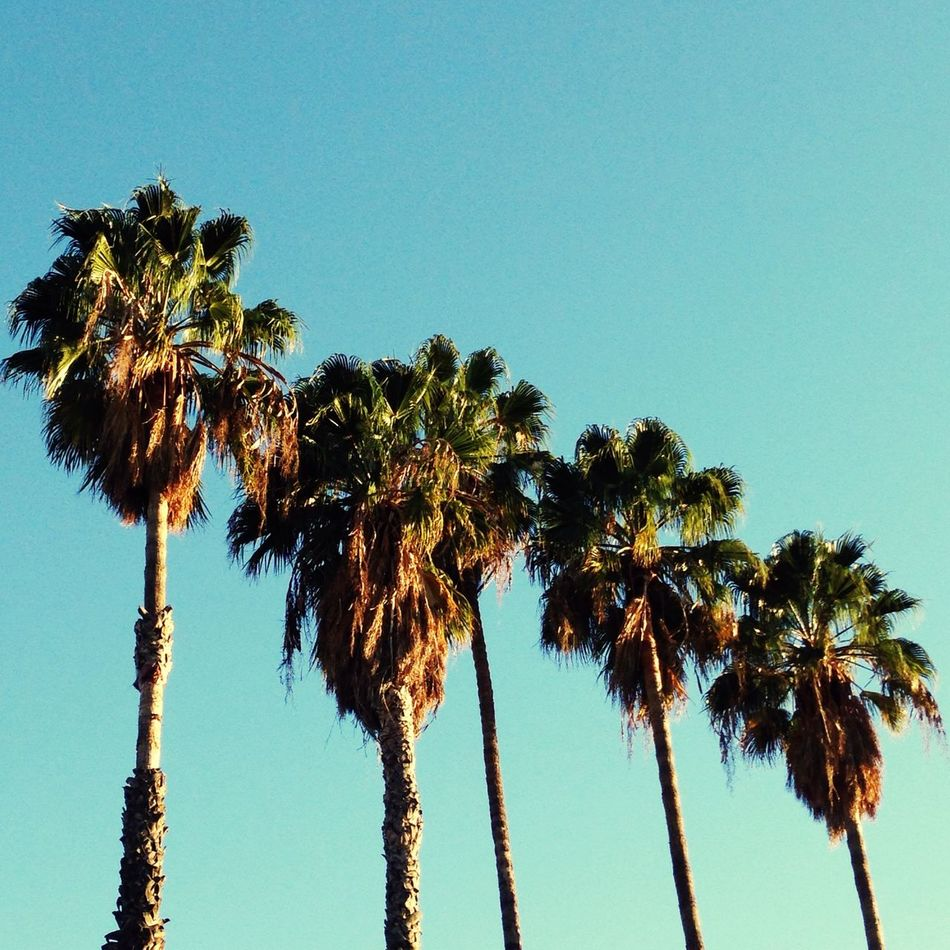 Palm Trees Glendale California Trees California West Coast Springtime Spring Row Of Trees Looking Up Nature Westside