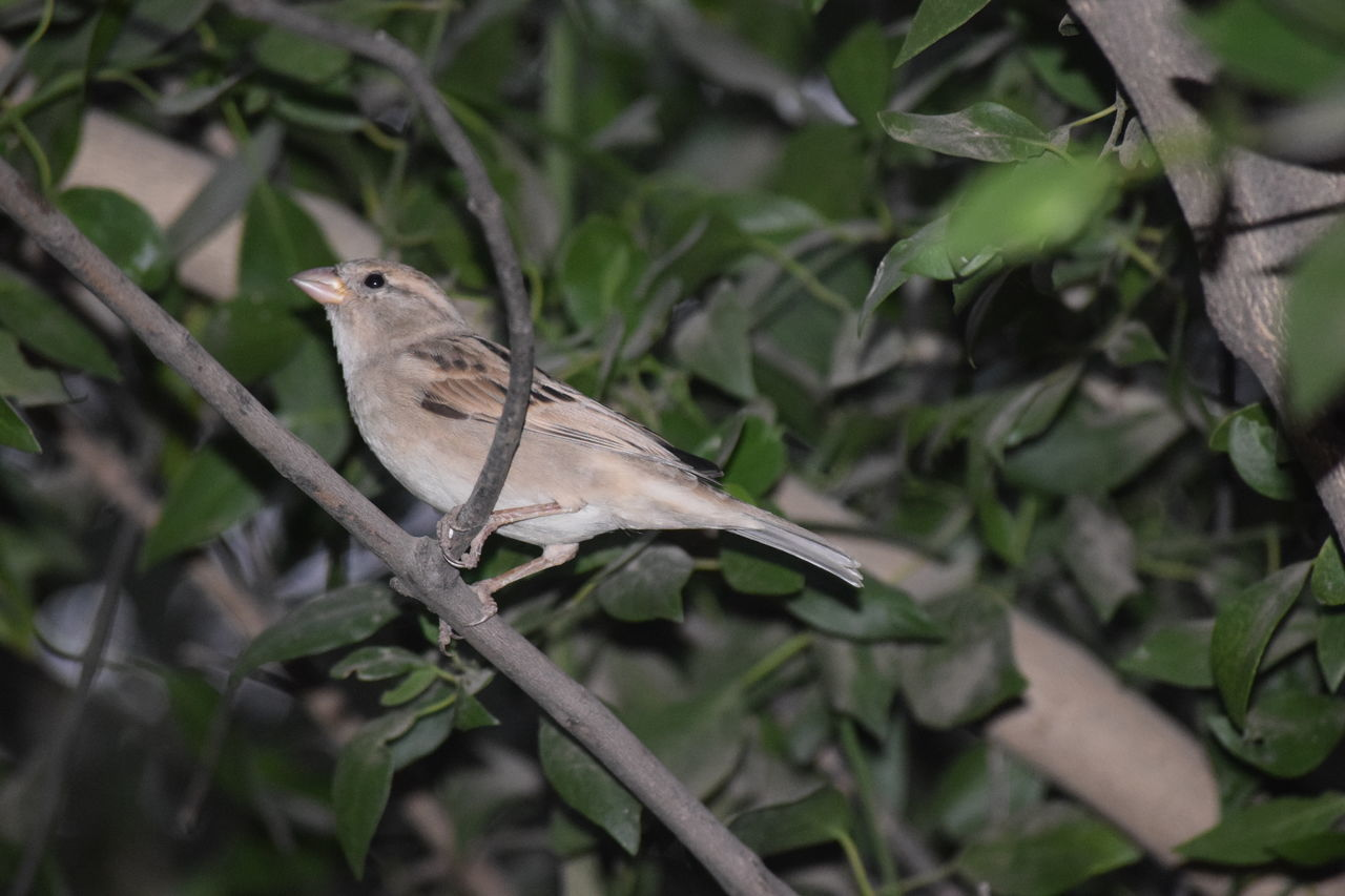 Female Sparrow One Animal Animals In The Wild Leaf No People Outdoors Bird Photography Zoology Bird EyeEm Best Shots EyeEm Nature Lover Beauty In Nature NIKON D5300 EyeEm Eyeem Market Eyeem Photography Eyeemphotography Nikon Photography EyeEm Vision EyeEm Gallery Sparrow, Bird, Feathers, Tweet, Bush Branches, Brown, Sitting, Still, Sparrow On A Branch Sparrow In A Tree Sparrow Perching