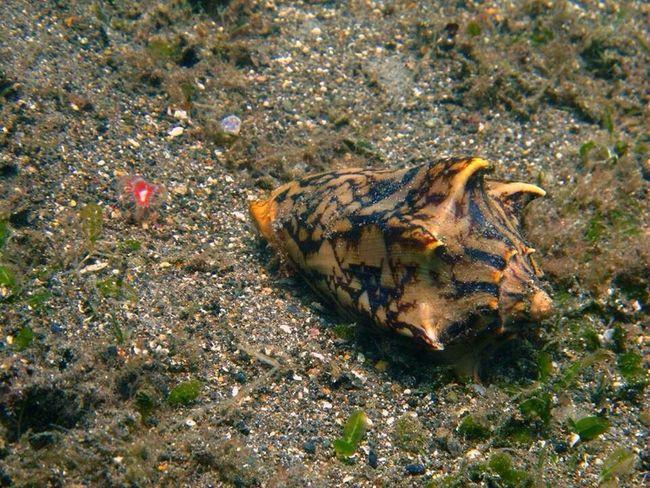 Seacreature Conchshell Diving Scubadiving Underwaterworld Uwphotography SCUBA Scuba Diving Seacreatures Conch