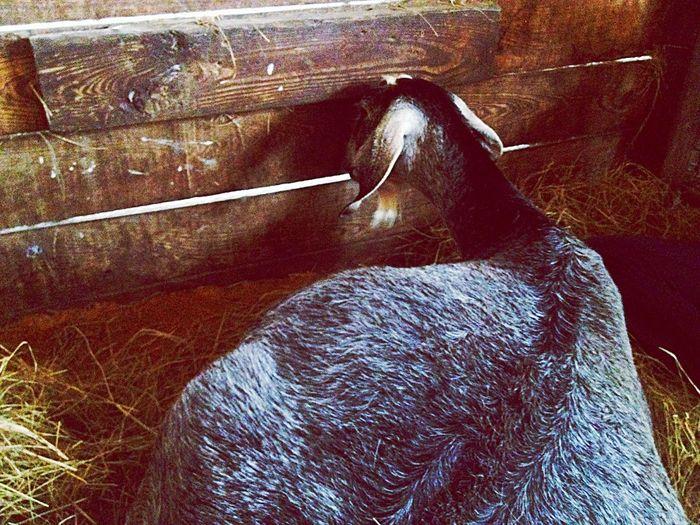 Farm Life Serenitygoats Goats Farm #Serenitygoats