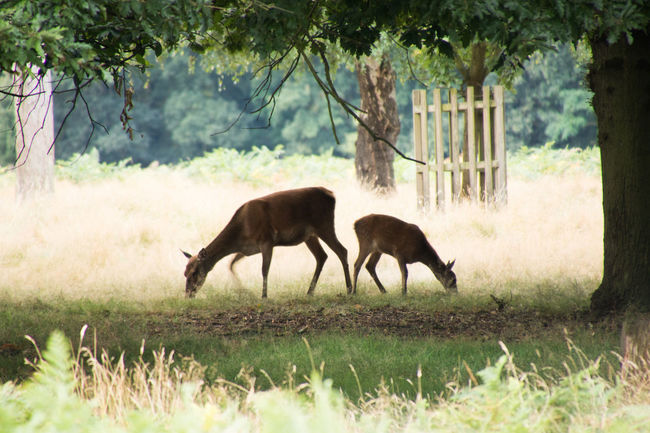Early morning Deer grazing in Bushy Park Animal Themes Beauty In Nature Bushy Park Day Deer Deer Grazing Near My Home Field Grazing Green Color Growth Herbivorous Landscape Mammal Nature No People Non-urban Scene Outdoors Plant Royal Parks Running Selective Focus Tranquil Scene Tranquility