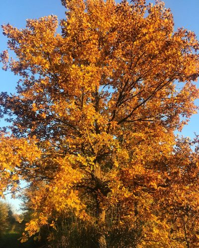 🍁🍂 Tree Autumn Nature Change Beauty In Nature Low Angle View Sunlight Growth Sky Leaf No People Day Outdoors Clear Sky Scenics Close-up