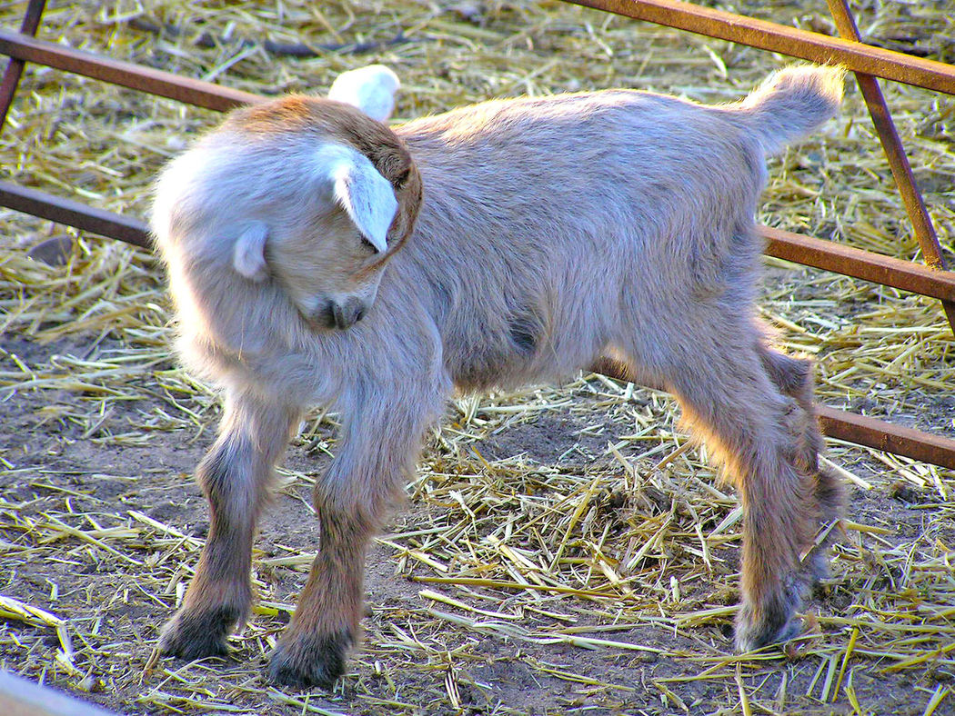 Animal Animal Themes Beauty In Nature Country Life Day Domestic Animal Domestic Animals Farm Farm Animals Farm Life Farming Fauna Goat Goatling Goats Lamb Little Goat Mammal Mammals Newborn No People Outdoors Sheep Young Animal