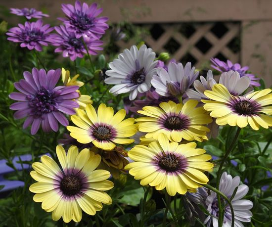 African Daisies Daisies Floral Photography Floralperfection Flower Garden Flower Photography Flowers Garden Photography Gardening Growing Flowers Nature Outdoors Purple And Yellow Purple And Yellow Flowers Purple Color Purple Flowers Yellow And Purple Yellow And Purple Flowers Yellow Flowers P900 Nikon P900