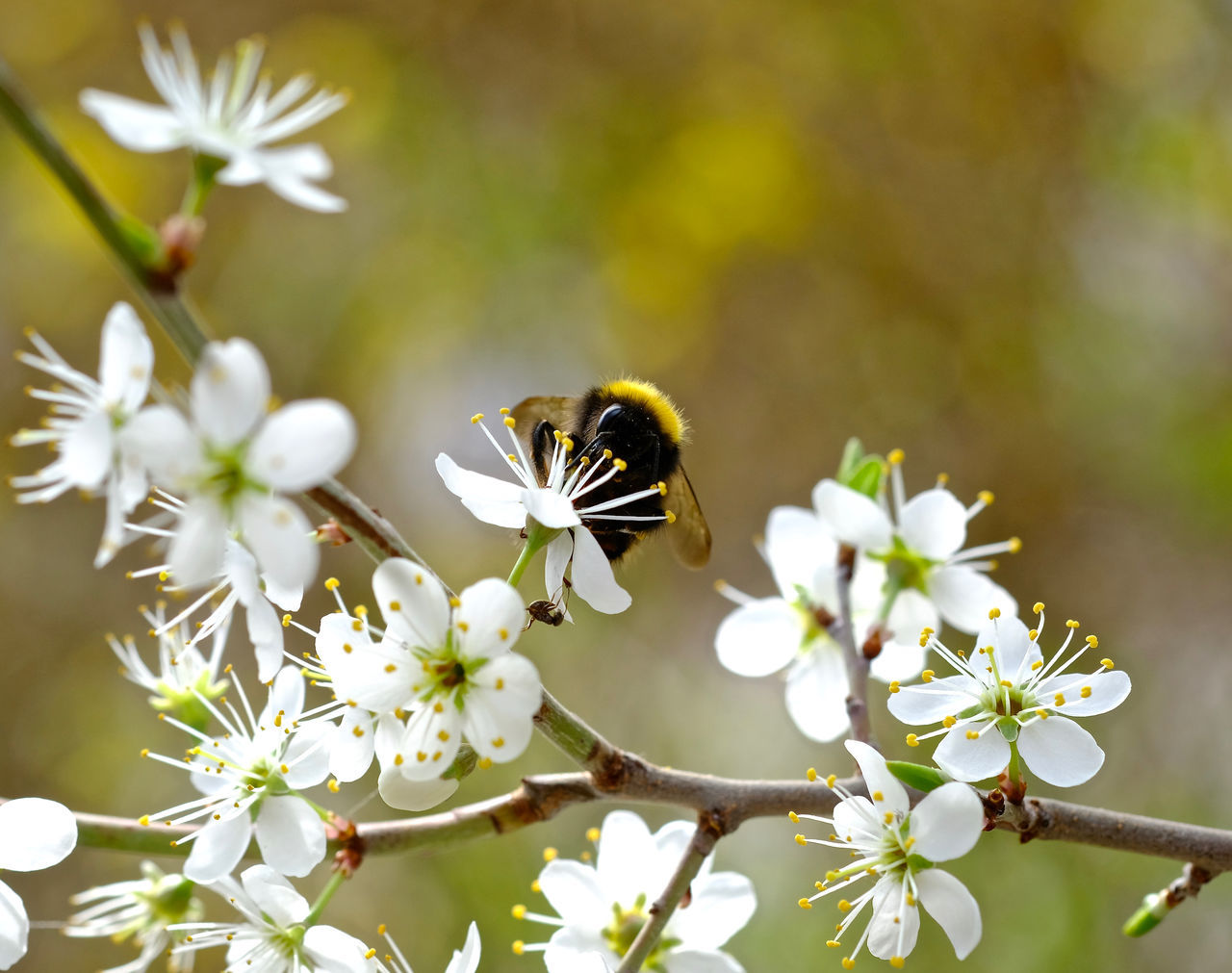 Beauty In Nature Flower Flower Head Freshness Humble-bee Insect Nature One Animal Petal Pollination Springtime White Color