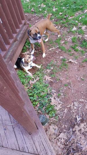 Day Sunlight Boxer Dog Outdoors Beagle Dog Beagles Of Eyyem Boxerlover Deck Dirty Dog