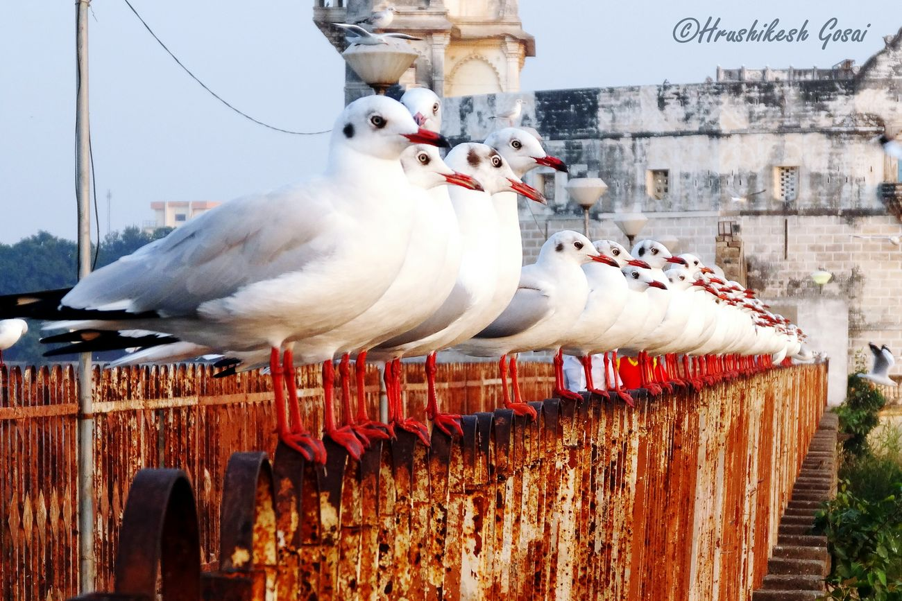 Everything In Its Place Jamnagar Lakhotalake Seagulls Organized Birds_collection Birdwatching Bird Bird Photography Seagulls At The Lake
