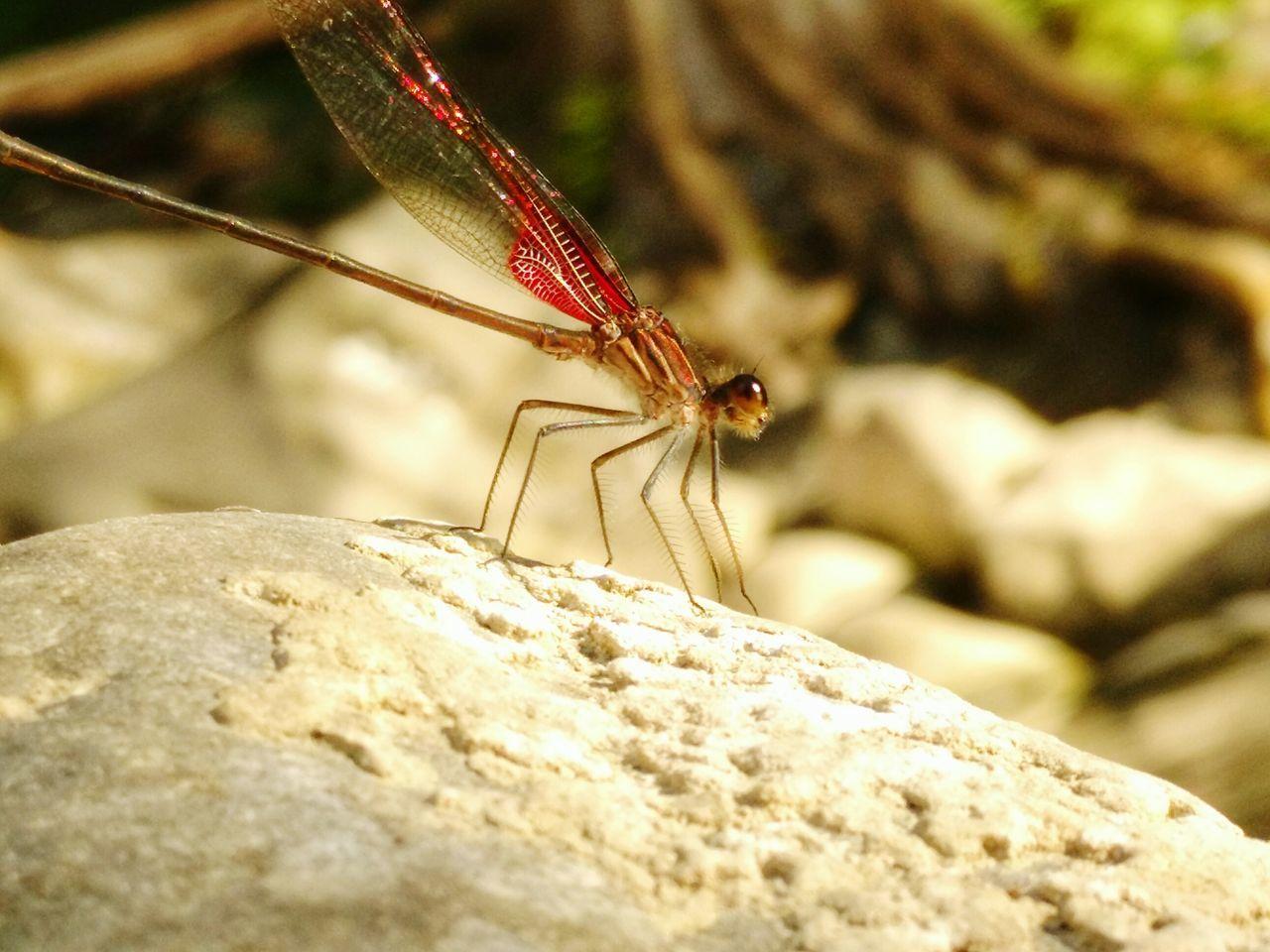 Río Raíces Allende NL. Libelula Libellule River Insects  Naturaleza Eyem Invertebrates Dragonfly Caballito Del Diablo
