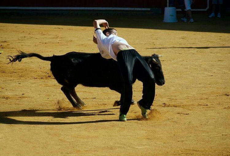 Toros Animals Fiestas Recortes De Toros