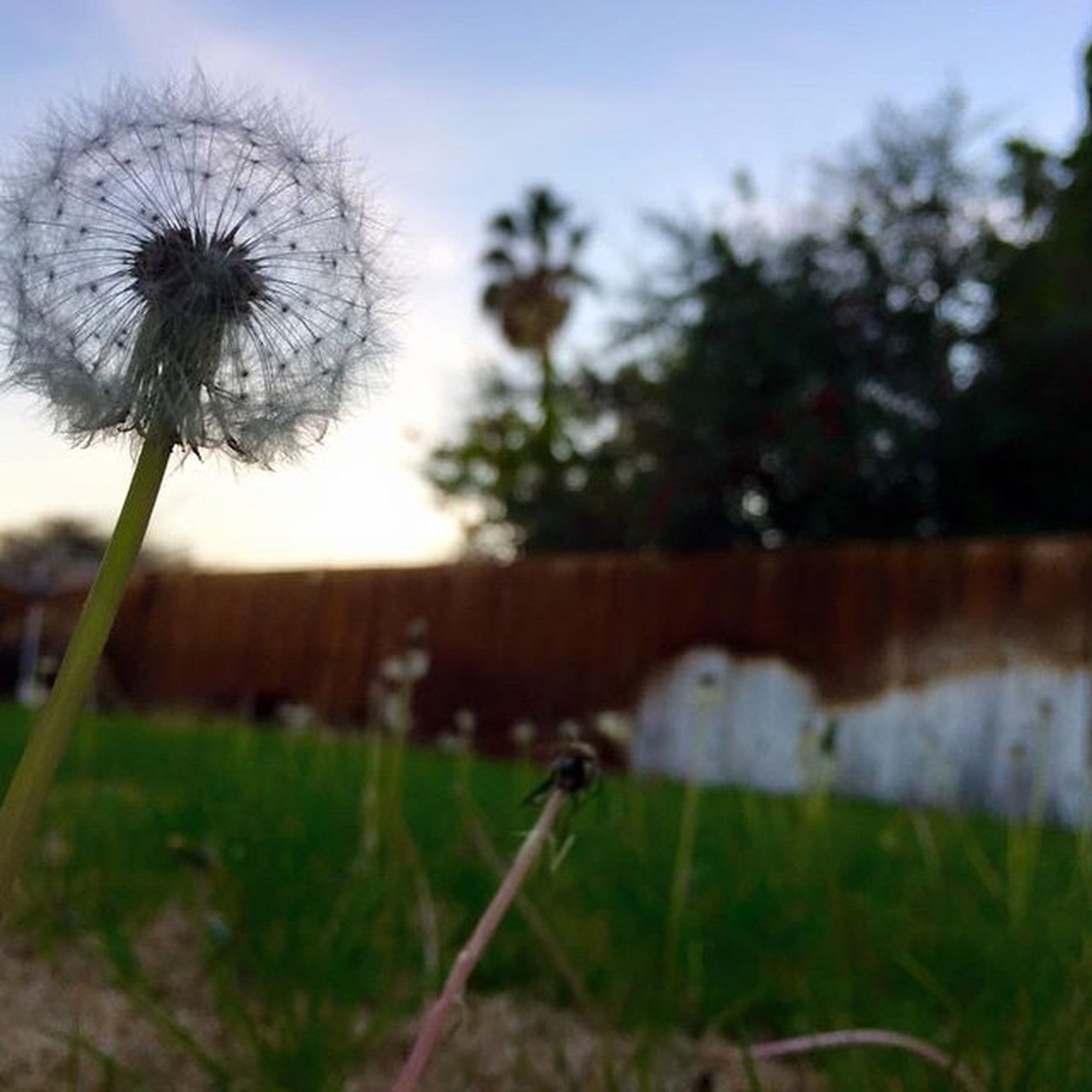 flower, focus on foreground, growth, stem, fragility, field, dandelion, plant, nature, close-up, sky, freshness, selective focus, beauty in nature, grass, day, outdoors, no people, wildflower, blooming