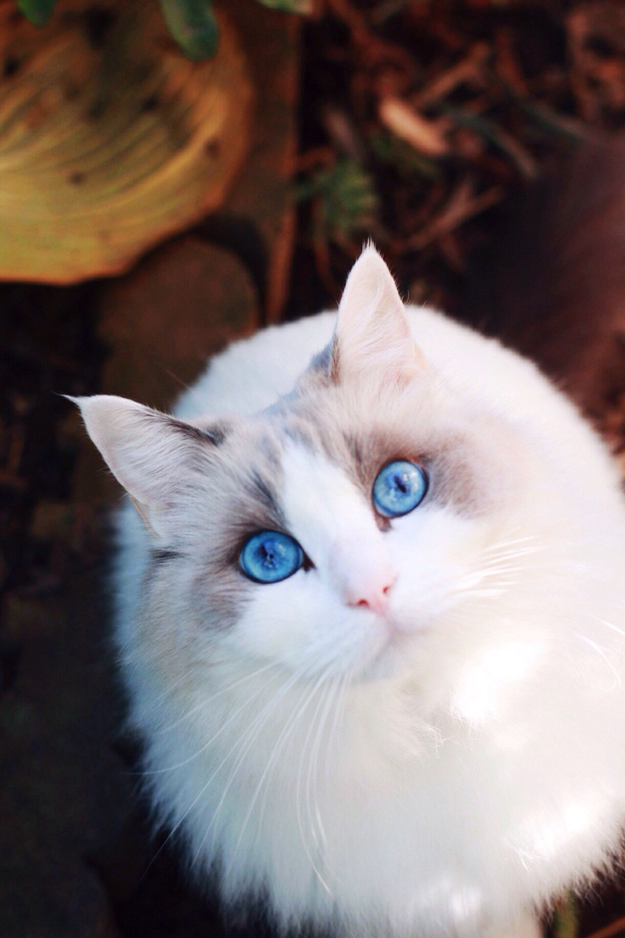 Domestic Cat Pets Domestic Animals Mammal Ragdoll Blue Eyes Autumn Leaves Pet Photography  Lookingup Looking At CameraOne Animall cat] one animaLooking At CamerarFocus On ForegroundnFelinenNo PeoplelClose-upuPortraitiIndoors rDayay