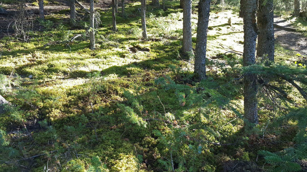 Growth Forest Plant Tree Trunk Tree Nature Tranquility Green Color Tranquil Scene Beauty In Nature Scenics Lush Foliage Day Branch Outdoors WoodLand Full Frame Non-urban Scene Growing No People Moss Carpet Of Moss Jasper National Park Alberta