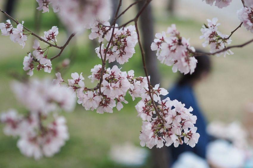 Cherry Blossoms Sakura Flowers Flower Flowerporn Flower Collection Spring Flowers Spring EyeEm Nature Lover EyeEm Best Shots EyeEmBestPics EyeEm Gallery That's Me