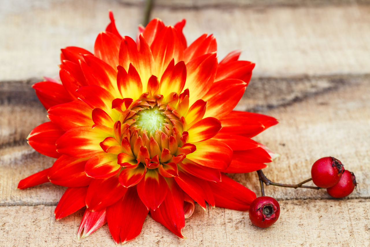 Beauty In Nature Blooming Close-up Dahlia Day Floral Photography Flower Flower Head Focus On Foreground Fragility Freshness Nature No People Outdoors Petal Pollen Red Rose Hips
