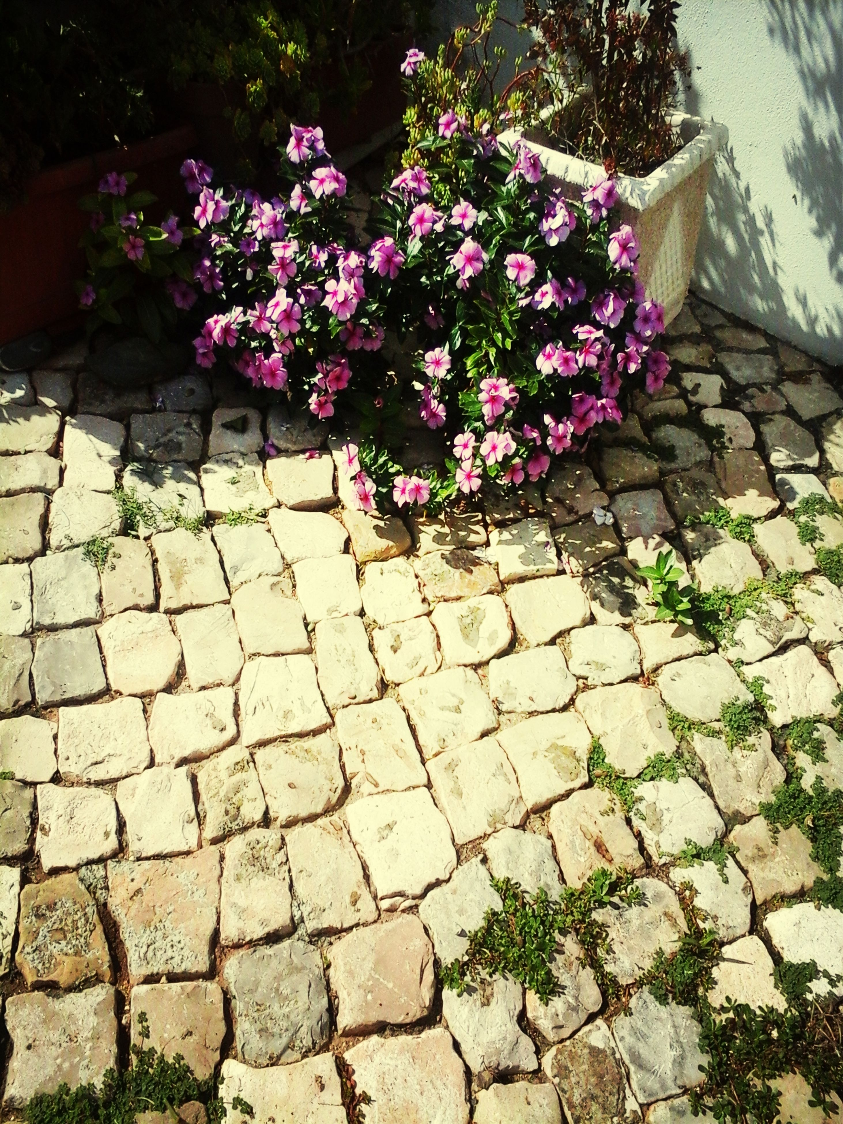 flower, stone wall, plant, growth, cobblestone, nature, fragility, pink color, wall - building feature, outdoors, freshness, day, paving stone, brick wall, beauty in nature, footpath, no people, sunlight, high angle view, blooming