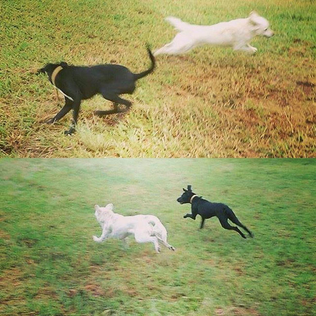 """""""Hoje eu achei um amigo e brinquei muito, pai!"""" Nego(o branco) e o Branco(o dog preto) se divertindo bastante hoje pela manhã! Muito amor! ❤ DogDayIsEveryDay Dogfriends Dog Cachorro Instapet MuitoAmor Myson"""
