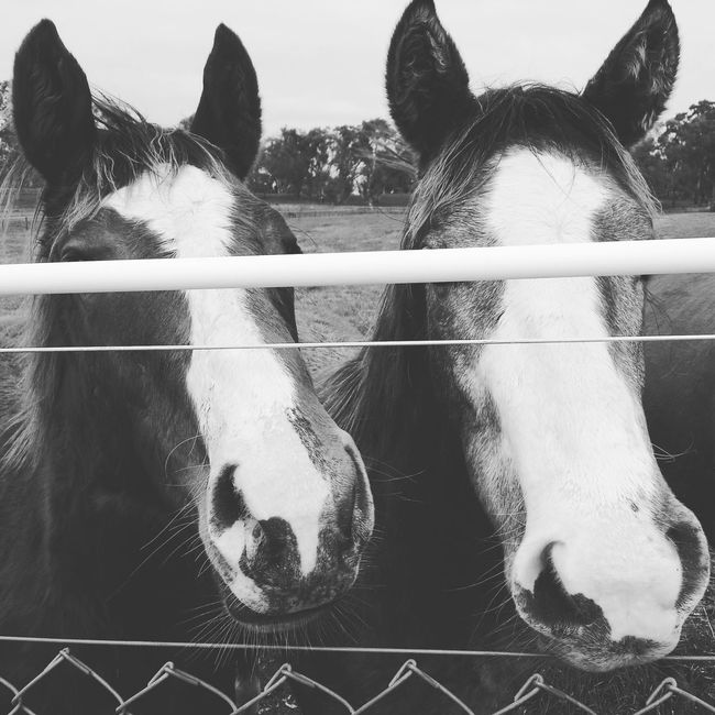 Horses Horse Life Colts Yearlings Ponies Black And White Blackandwhite Black & White Greyscale Country Life In Disguise Disguise Disguised Hanging Around Incognito Hiding Hiding In Plain Sight Hide And Seek Blind Blinded Blindfolded Pets Of Eyeem