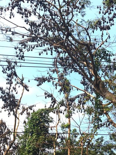 A colony of bats Low Angle View Tree Branch Nature Day No People Growth Freshness Outdoors Beauty In Nature Sky Cable
