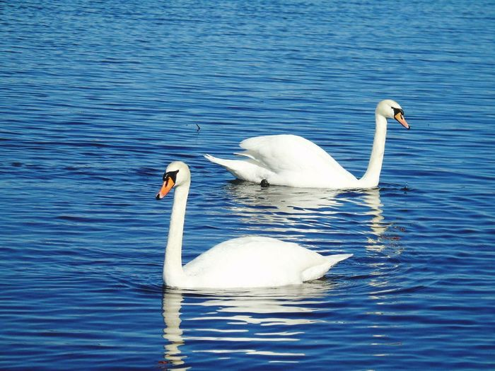 Bird Animals In The Wild Animal Themes Wildlife Swan Water Lake White Color Two Animals Rippled Nature Water Surface Beak Swimming Blue Outdoors Water Bird Day Beauty In Nature Waterfront Check This Out No People Beauty In Nature Tranquil Scene Nature