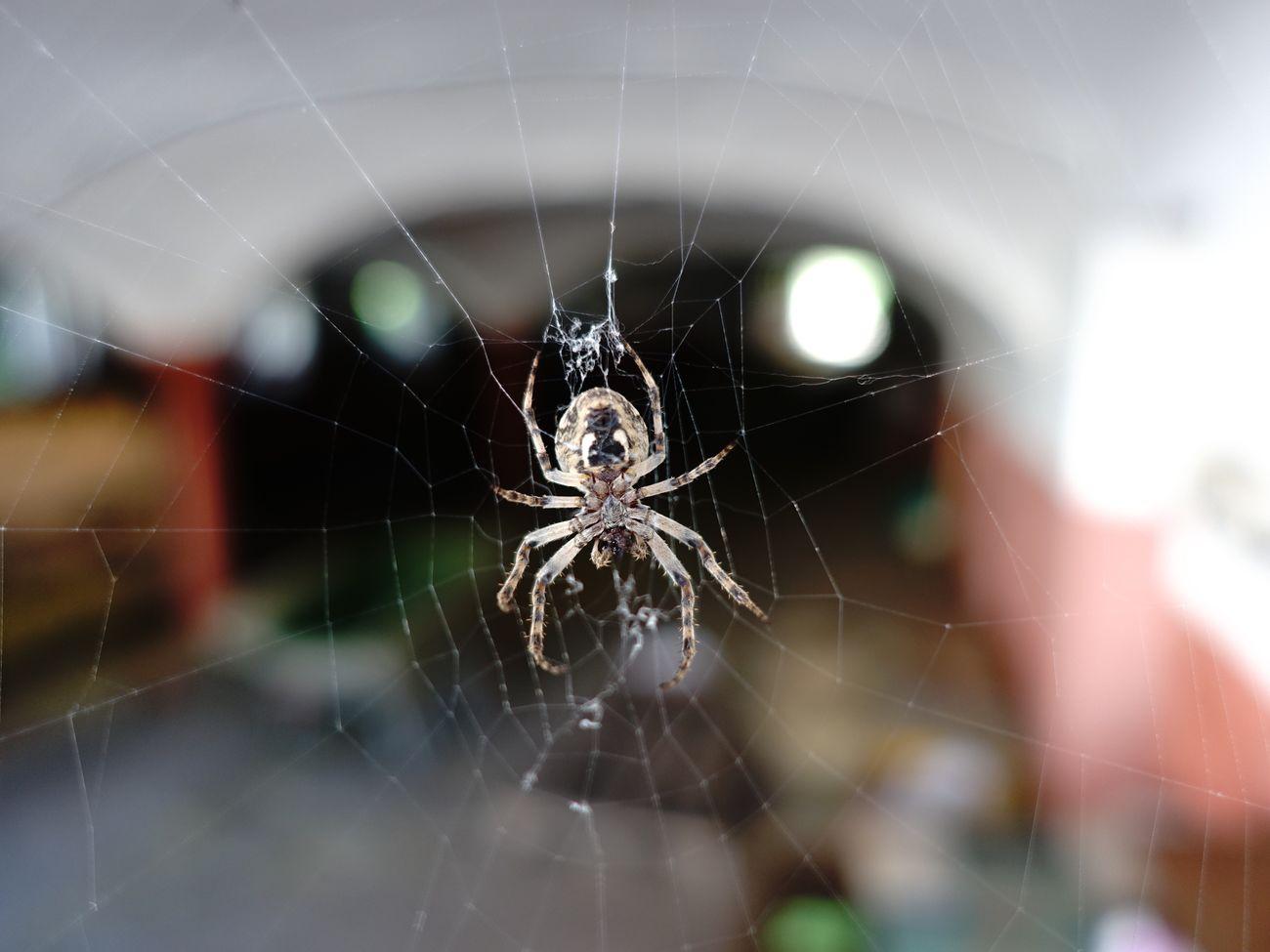 Spider Nice little Spider waiting for some Flies Huntress Arachne Spiderman Spiderwoman Kreuzspinne Sony Rx100 Iii Sony Rx100 M3 SONYrx100m3