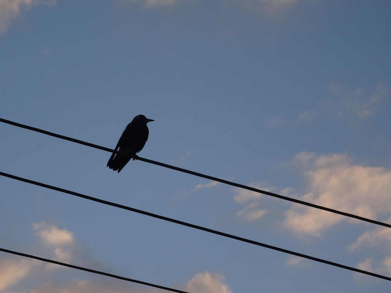 bird, low angle view, animals in the wild, cable, one animal, animal themes, connection, animal wildlife, perching, sky, no people, crow, cloud - sky, outdoors, day, nature, raven - bird
