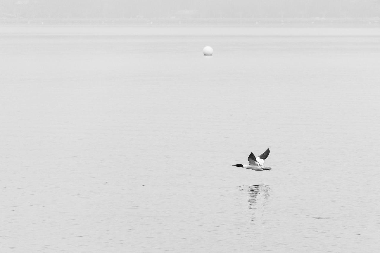 Duck Flying Over Lake