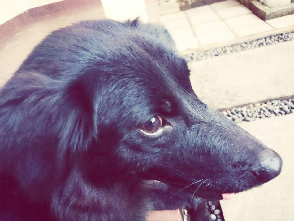 Our beloved Weeko Ilovemydog Bali Dog Black And White