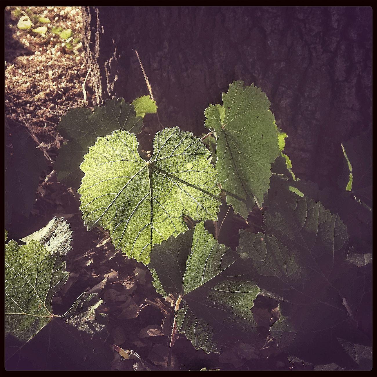 Grape Leaf  Backlit Backlighting Green