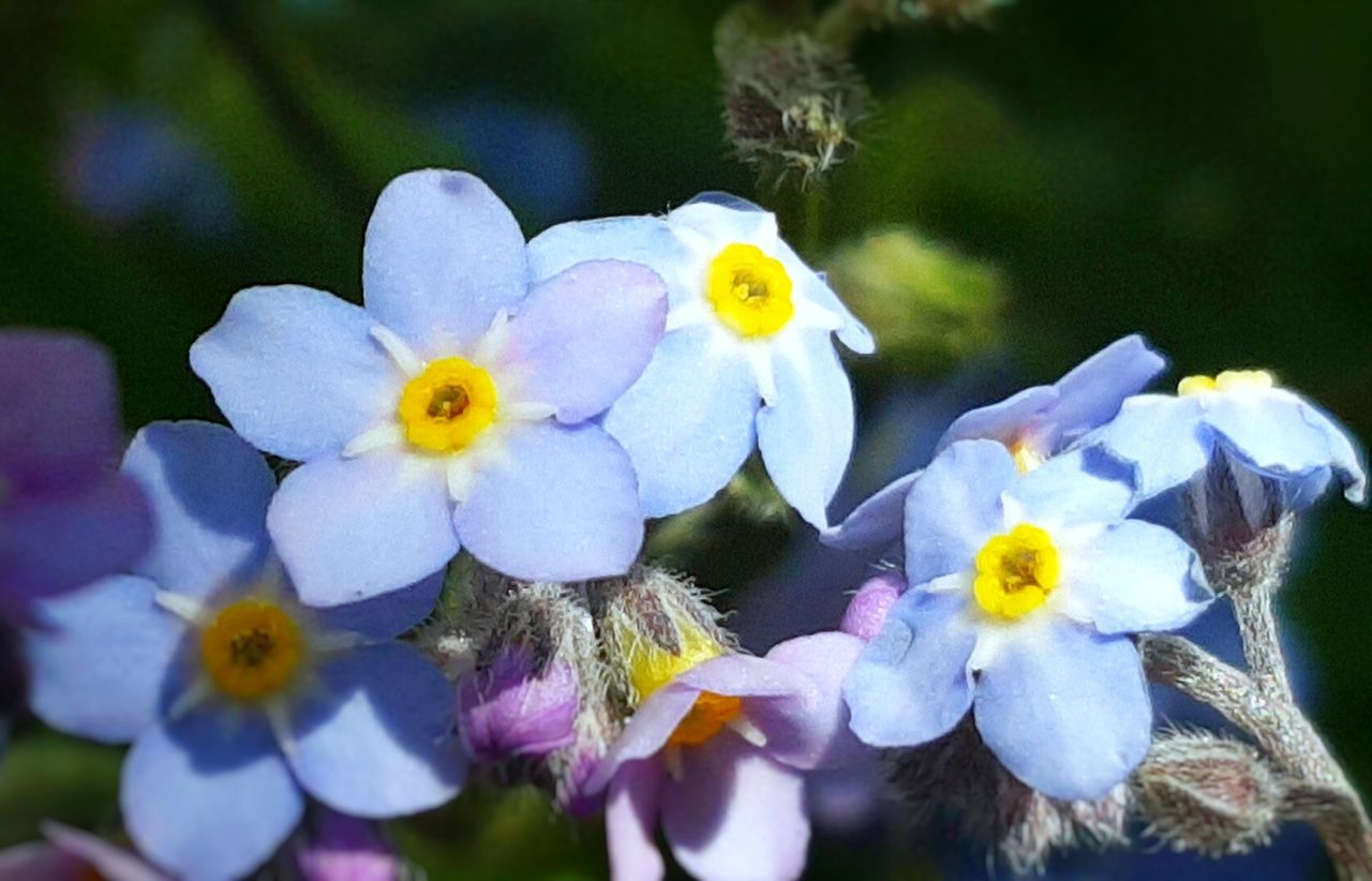 Flower Nature Petal Flower Head Beauty In Nature Plant Fragility Outdoors Day Close-up Water Springtime Freshness Vergissmeinnicht Forget Me Not Growth No People