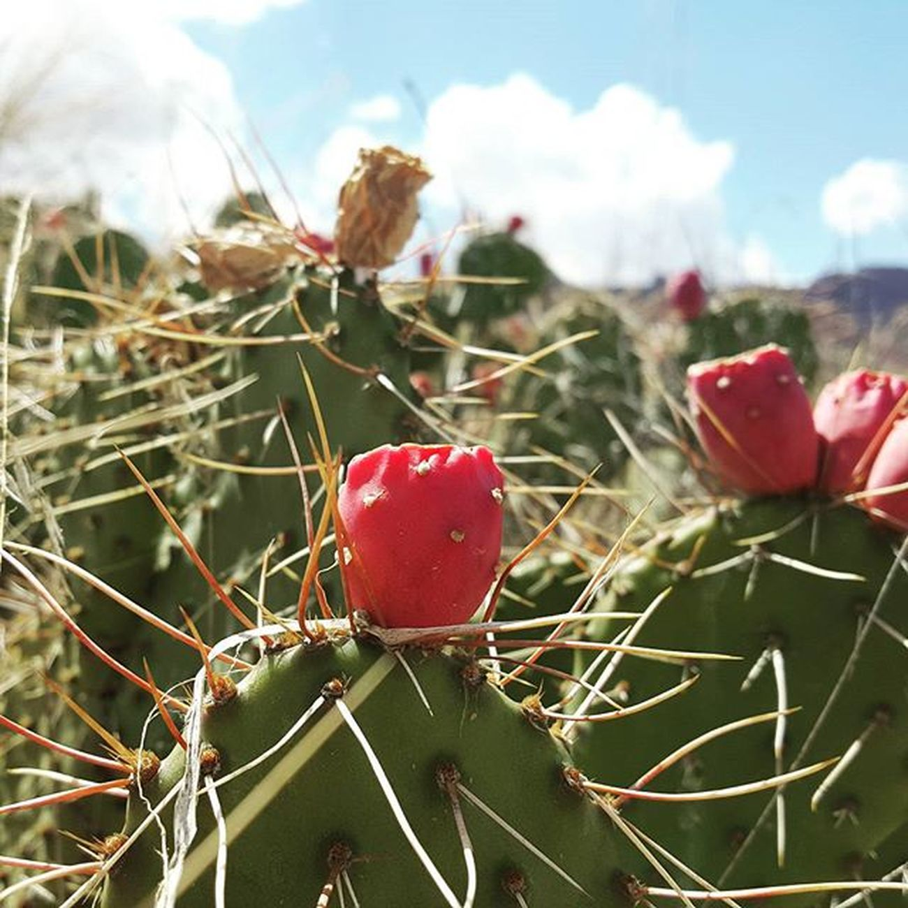 Cactusflower Cactus Frisbeegolf in Moab  Cool Pink Green Sharp Thorns