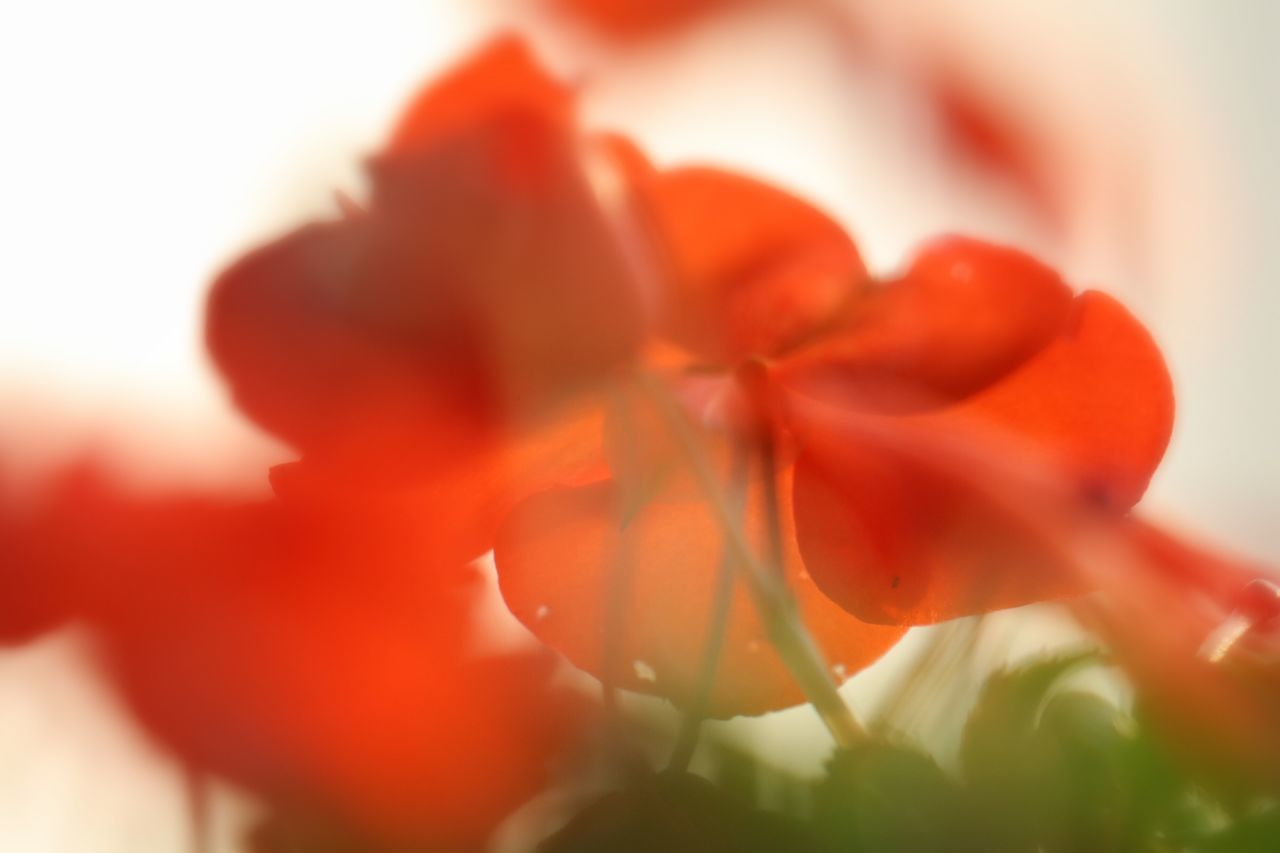 petal, flower, growth, beauty in nature, freshness, nature, fragility, close-up, selective focus, no people, plant, flower head, red, outdoors, day, blooming, sky