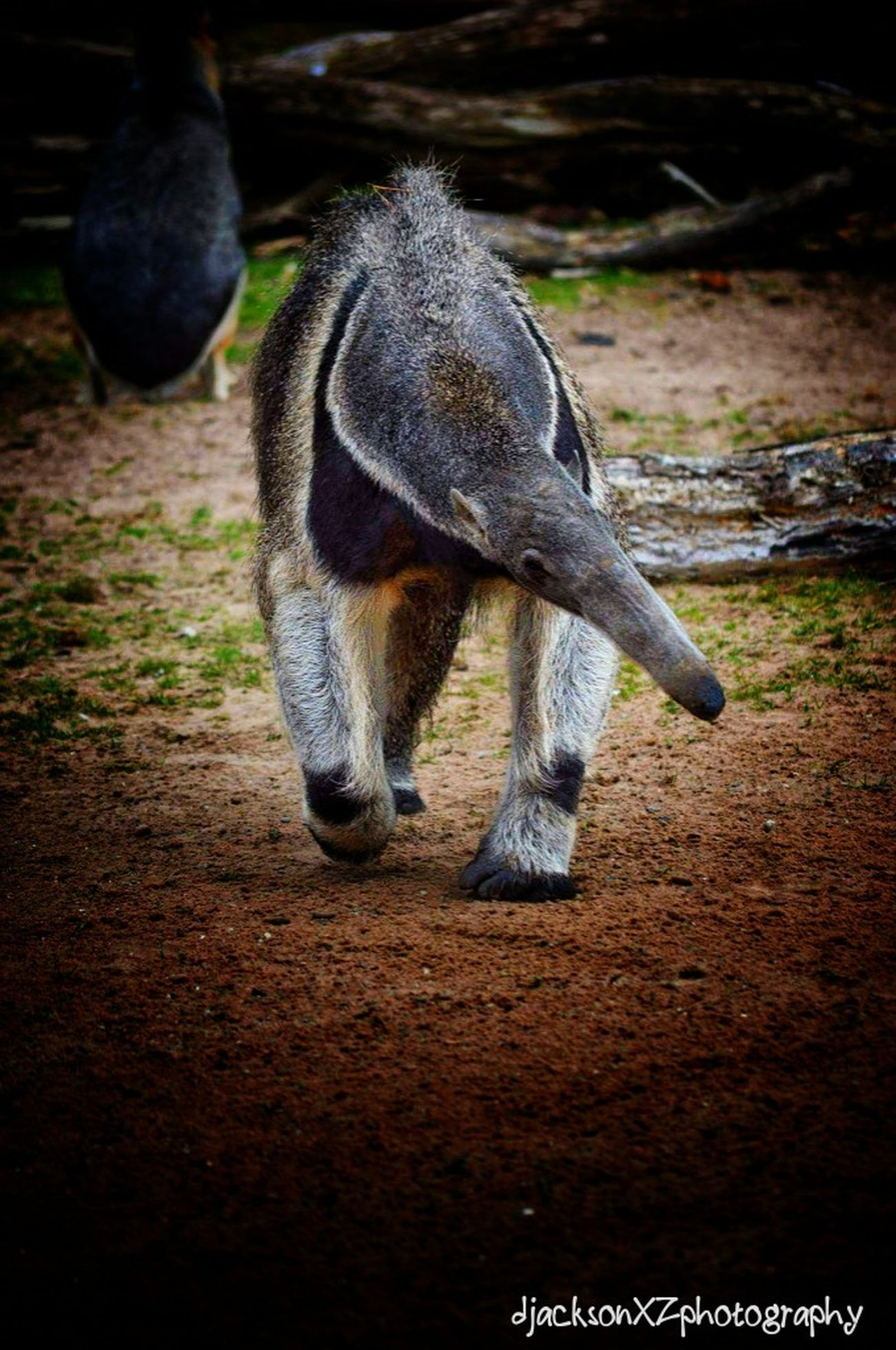 Giant Anteater … Outdoors Tail Nature Mammal Day Animal Themes One Animal Blackpool Blackpoolzoo Zoo Zoo Animals  Zoophotography Photography Wildlife & Nature Wildlifephotography