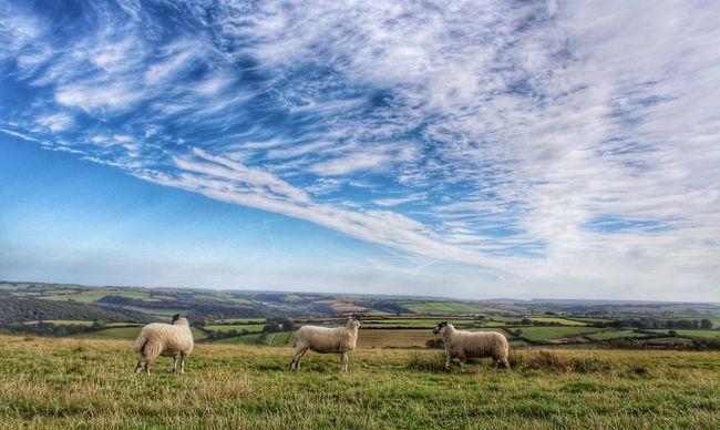 Devon South Hams Landscape Landscape_Collection Animal Themes Sheep The View Landscape_photography California Cross
