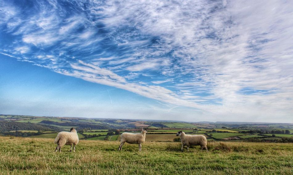 Devon South Hams Landscape Landscape_Collection Animal Themes Sheep The View Landscape_photography California Cross