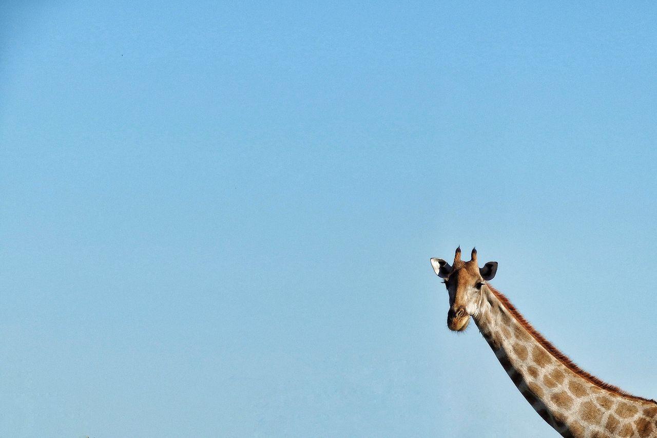 Giraffe Giraffes Giraffe ♡ Giraffe♥ Girafe Giraffe.  Nature's Diversities