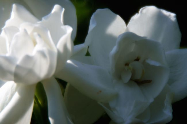 Beauty In Nature Blooming Blossom Botany Close-up Flower Focus On Foreground Gardenia Macro Outdoors Petal Pollen Selective Focus Softness Stamen White White Color